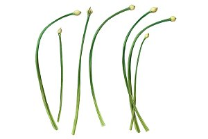Chives Color Illustration Isolated