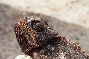 Chameleon in Namib Desert