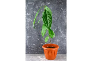 A young avocado sprout with leaves in a pot with earth. Gray dark concrete background. The tree of avocado.