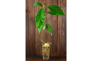 An avocado sprout with leaves and roots in a glass of water. A young avocado tree. Wooden brown wall and table.