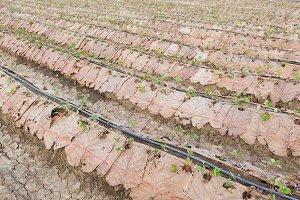 Farm Strawberry