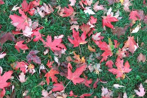 Red Maple Leaves on Green Grass