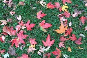 Red Maple Leaves on Green Grass V2
