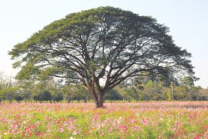 Big tree in cosmos field