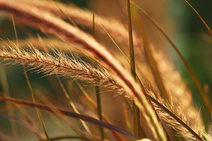 Beautiful grass ear spikes at the sunset