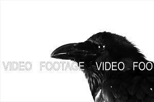 Black Raven. Macro.