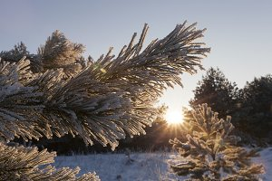 pine with a frost