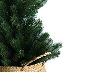 Pine Tree in Basket