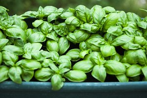 basil plant in a pot in the garden