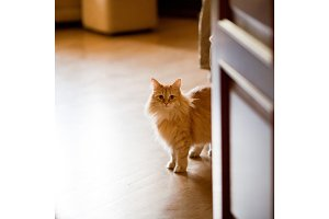 ginger cat at home