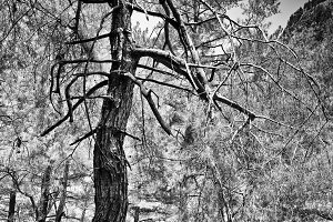 Vertical black and white dramatic tree background
