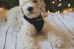 Labradoodle Puppy at Christmas