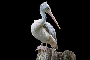 Pelican isolated on black background