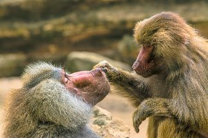 Hamadryas Baboon taking care of each other