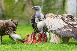 European griffon vultures