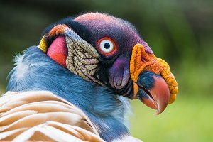 Portrait of a King vulture