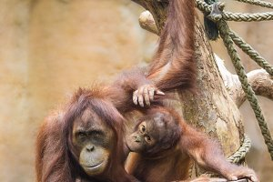Mother sumatran orangutan with her baby