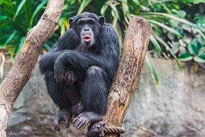 Western chimpanzee