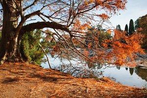 English parks in autumn, gingko biloba, yellow leaves, lake