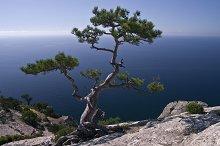 Pine over the sea