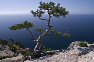 Pine over the sea