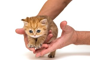 Kitten and men's hands