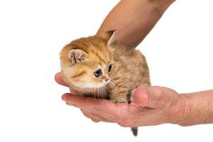 Kitten and men's hands