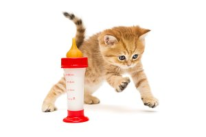 Small British kitten and bottle