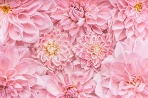 Pastel pink flowers layout, close up