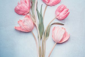 Pastel pink tulips on blue