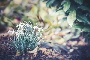 First sprig flowers, snowdrops