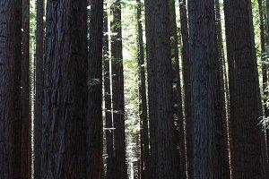 Shadows of Redwood