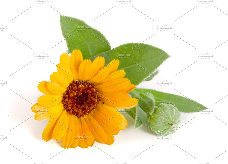 Calendula Marigold Flower With Leaf Isolated On White Background