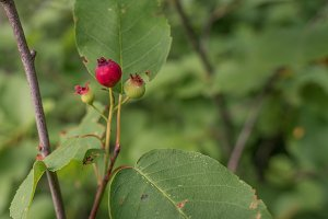 Juneberry Fruit and Leaves