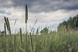 Timothy Grass Flowerheads