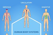 Vector human body systems