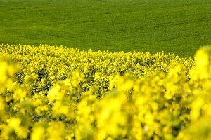 Field with yellow rape