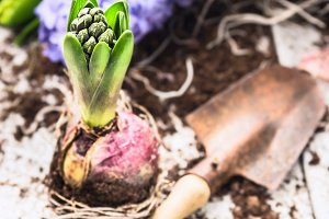 Hyacinth bulbs with shovel
