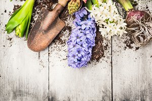 Hyacinth flowers with shovel