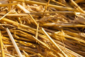pile of yellow dry straw