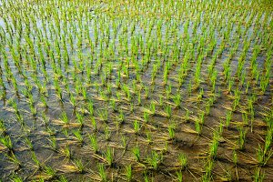 Green rice paddy in India