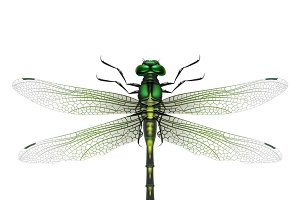 Vector realistic dragonfly