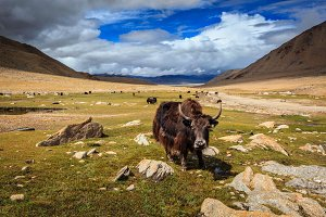 Yak in Himalayas. Ladakh, India