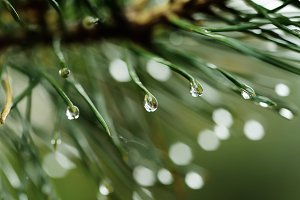 Wet pine tree
