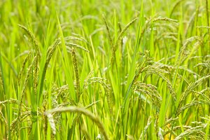 rice in rice field