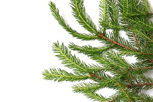 fir tree isolated white background