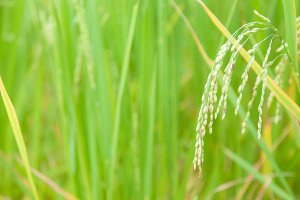 rice in rice field