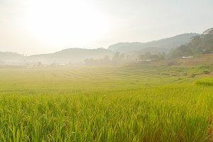 rice field on mountain.