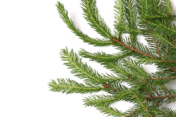 fir tree branches isolated on white…