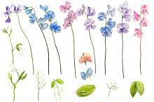 Watercolor Clipart Sweetpea